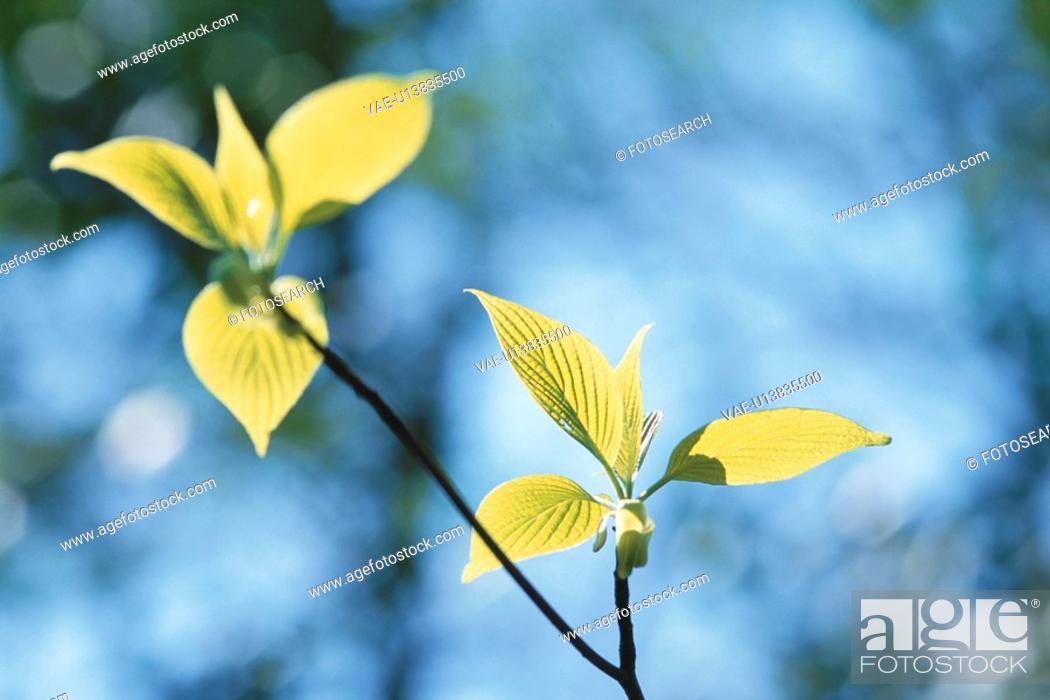 Stock Photo: Giant Dogwood Leaves.
