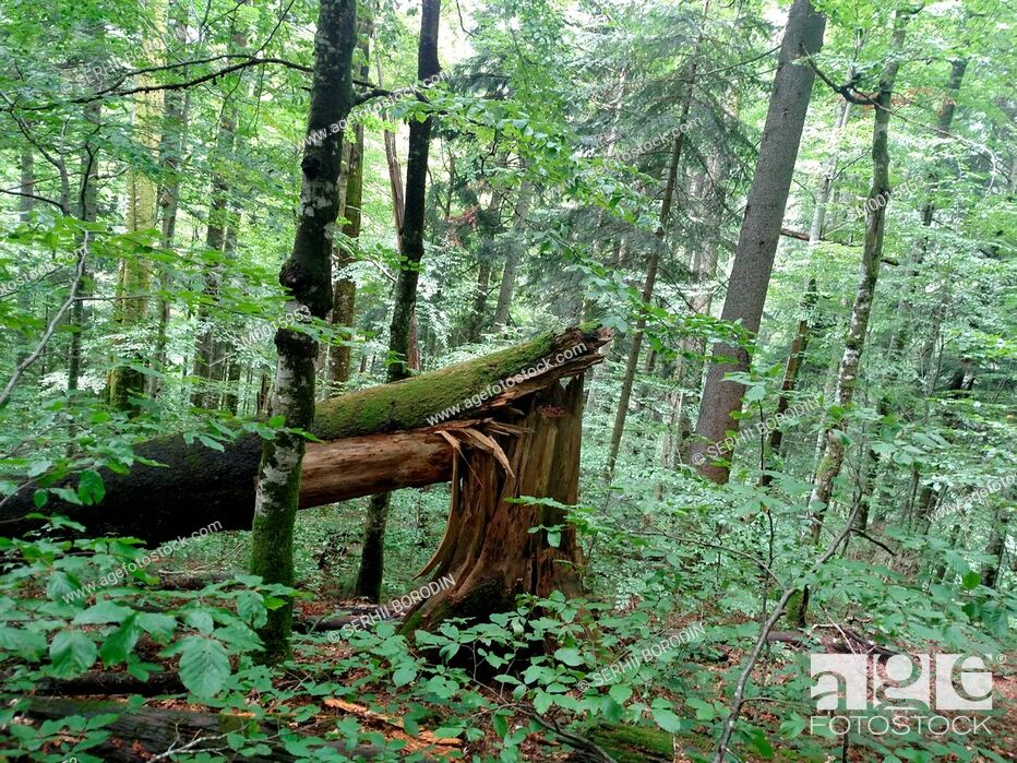 Stock Photo: Broken tree beech in leafs forest on mountain slope nature.