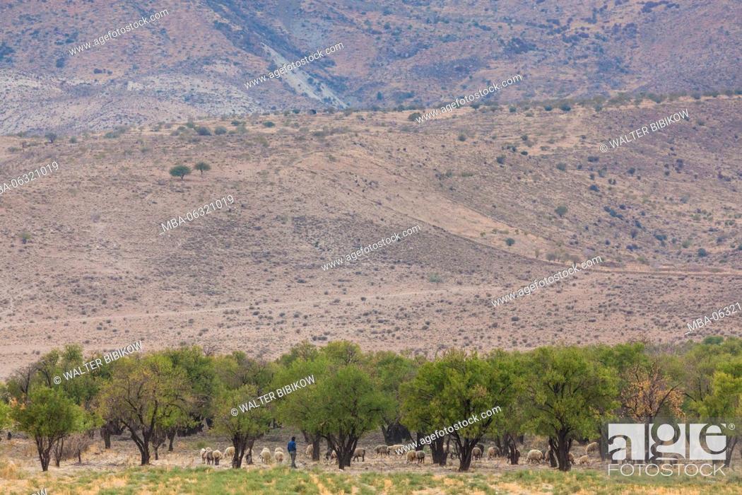 Stock Photo: Iran, Central Iran, Shiraz, olive trees.