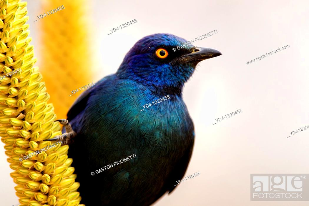 Stock Photo: Cape Glossy starling Lamprotornis nitens, on the Skirt aloe Aloe alooides, Kruger National Park, South Africa.