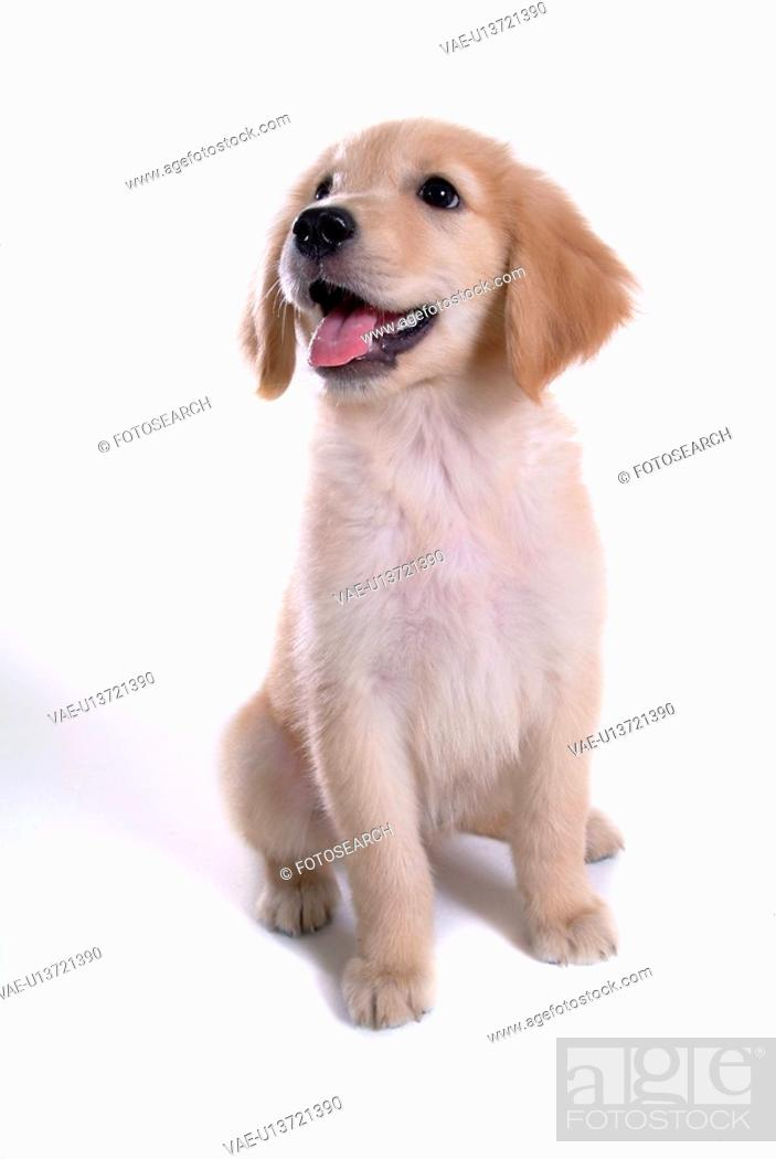 Stock Photo: looking up, animal, domestic animal, golden retriever, dog, close up, pet.