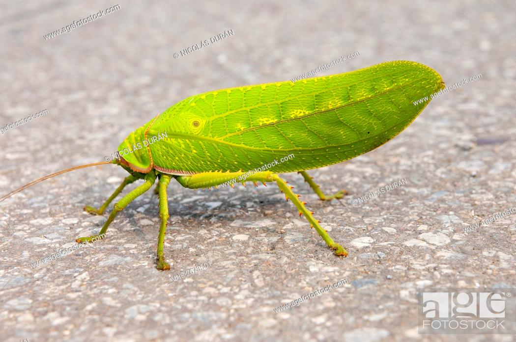 Stock Photo: Stick insect. Son La province. Vietnam.
