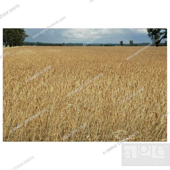 Stock Photo: wheatfield.