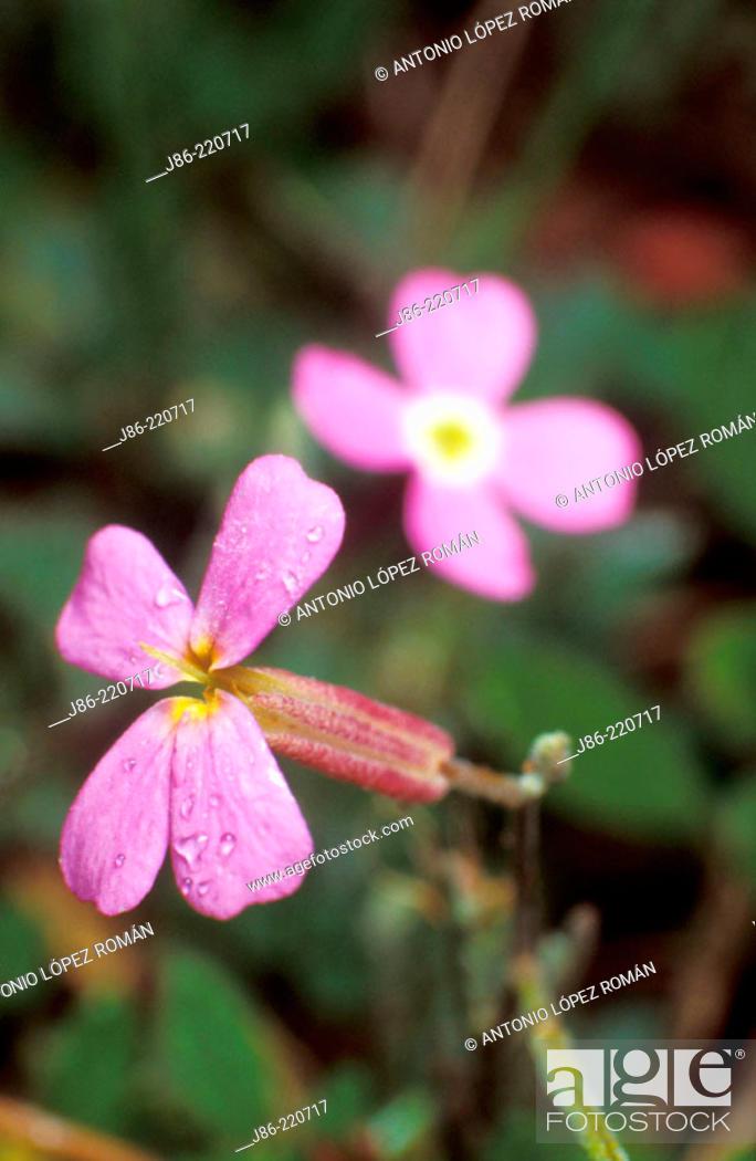 Stock Photo: Wildflower (Malcolmia flexuosa).