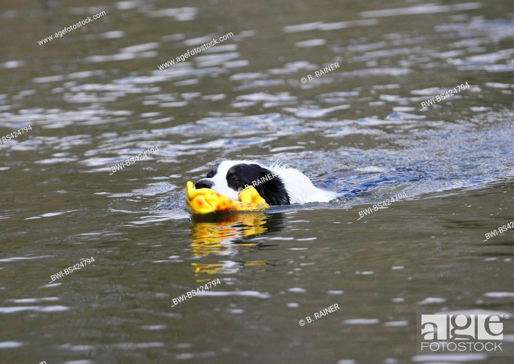 Stock Photo: Australian Shepherd (Canis lupus f. familiaris), male dog swimming with a plaything in the water, Germany.