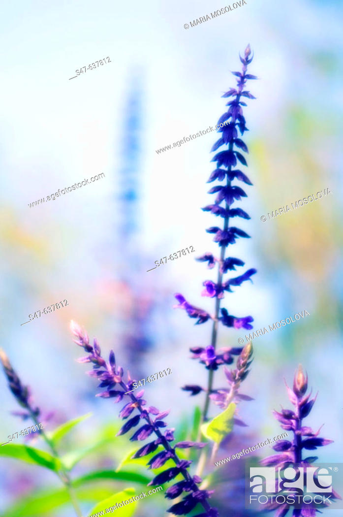 Stock Photo: Blue Sage. Salvia hybrid. October 2006, Maryland, USA.