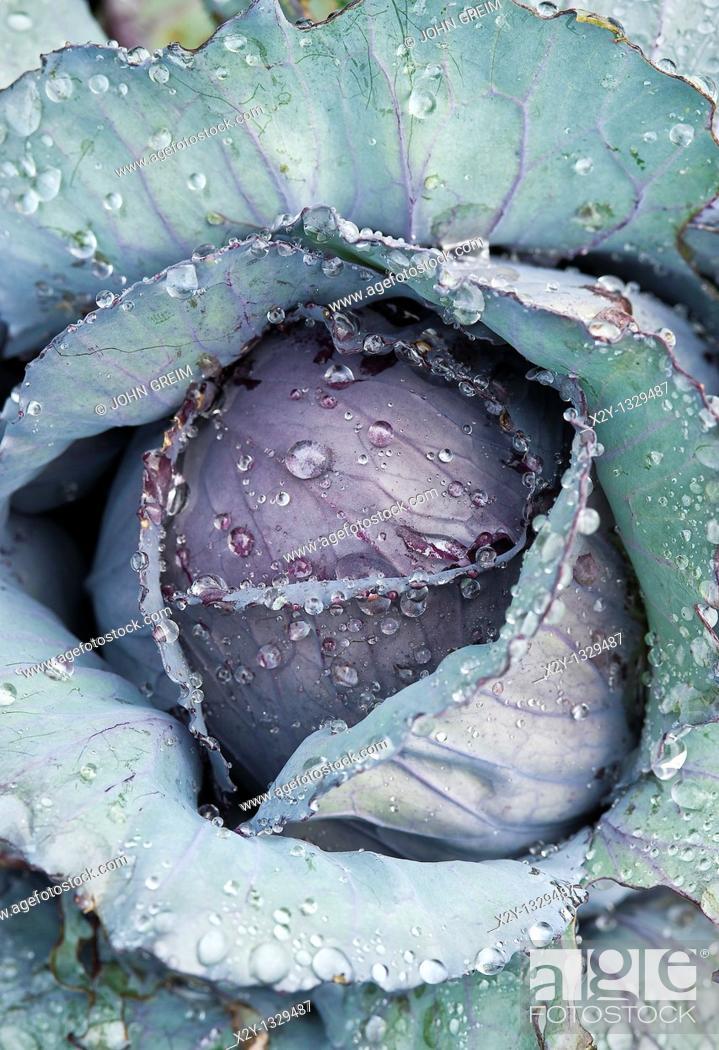 Stock Photo: Cabbage plant.