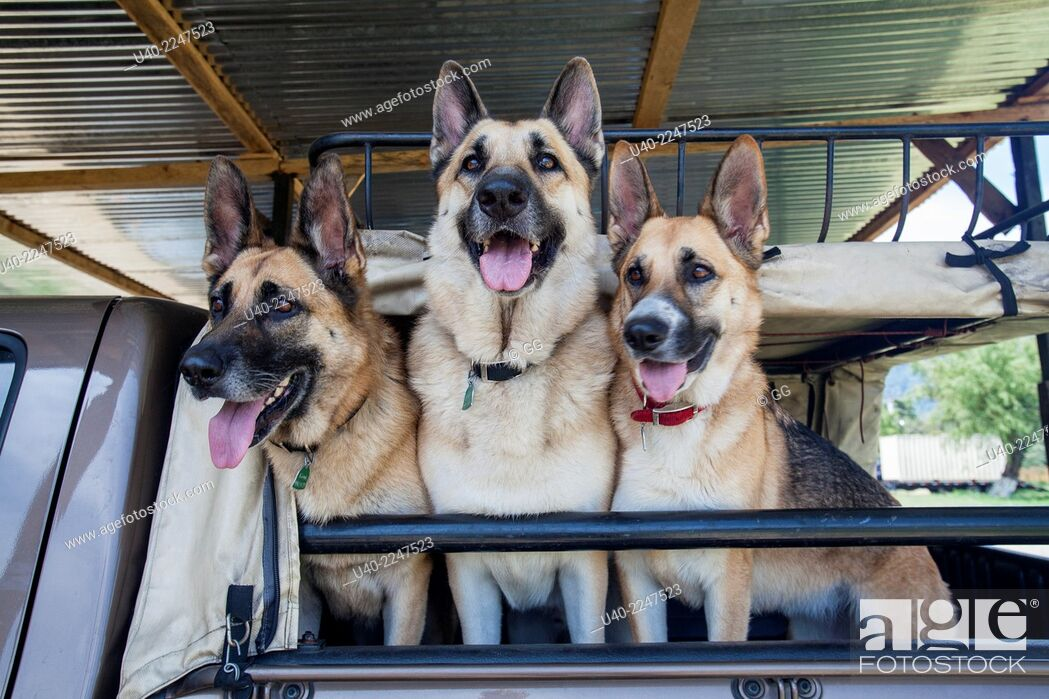 Stock Photo: German shepherds in pick up truck.