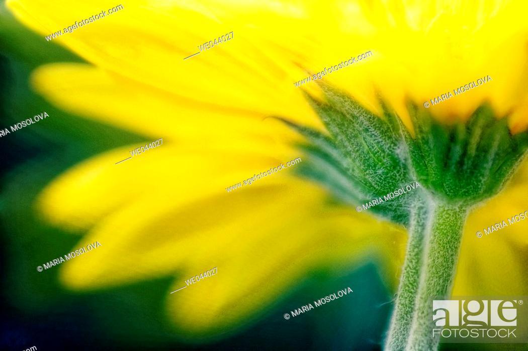 Stock Photo: Transvaal daisy. Gerbera jamesonii. May. Maryland, USA.