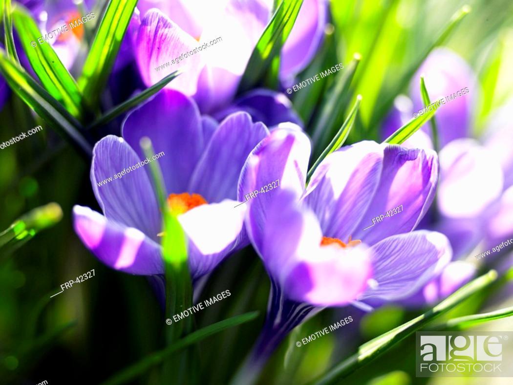 Stock Photo: daffodils in full blossom.