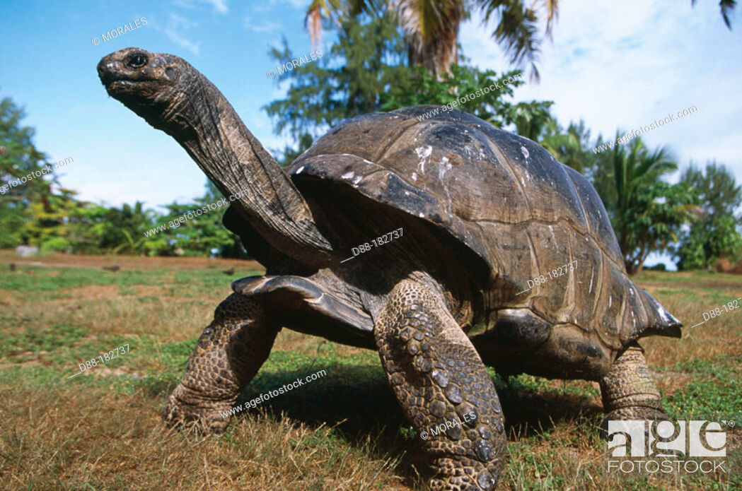 Photo de stock: Aldabra Tortoise (Dipsochelys elephantina).