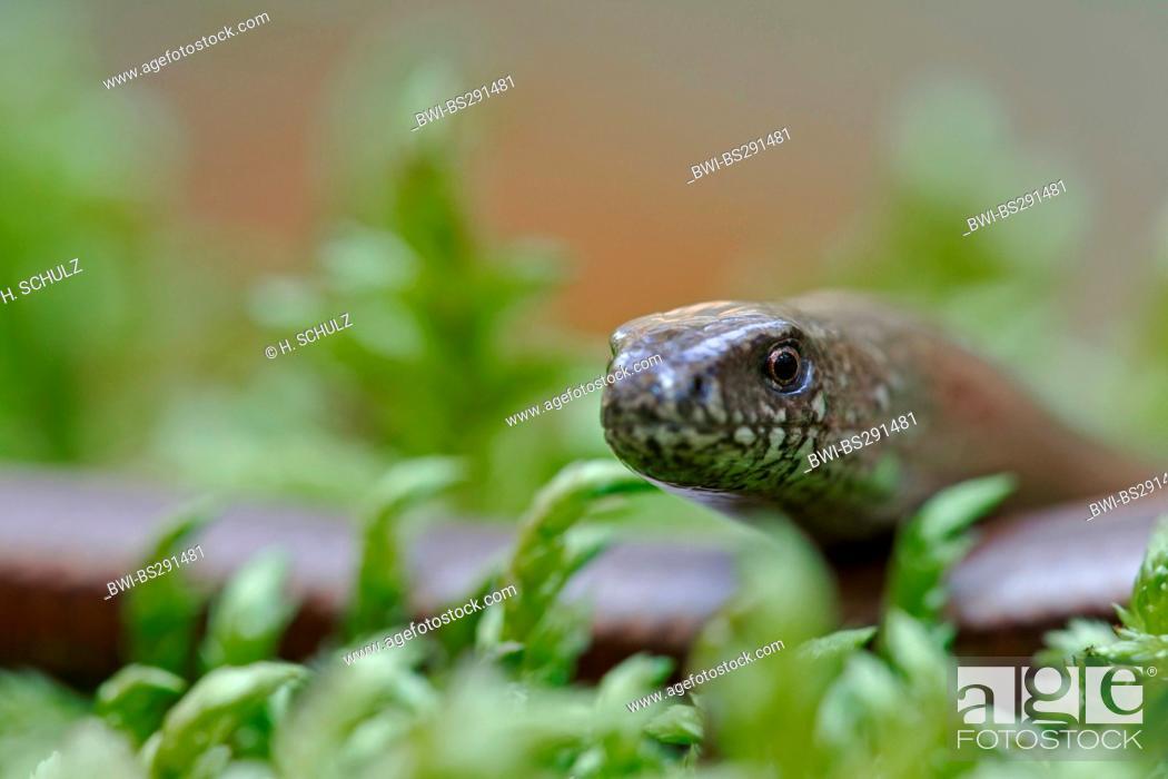 Stock Photo: European slow worm, blindworm, slow worm (Anguis fragilis), portrait of a female, Germany, Saxony, Oberlausitz.