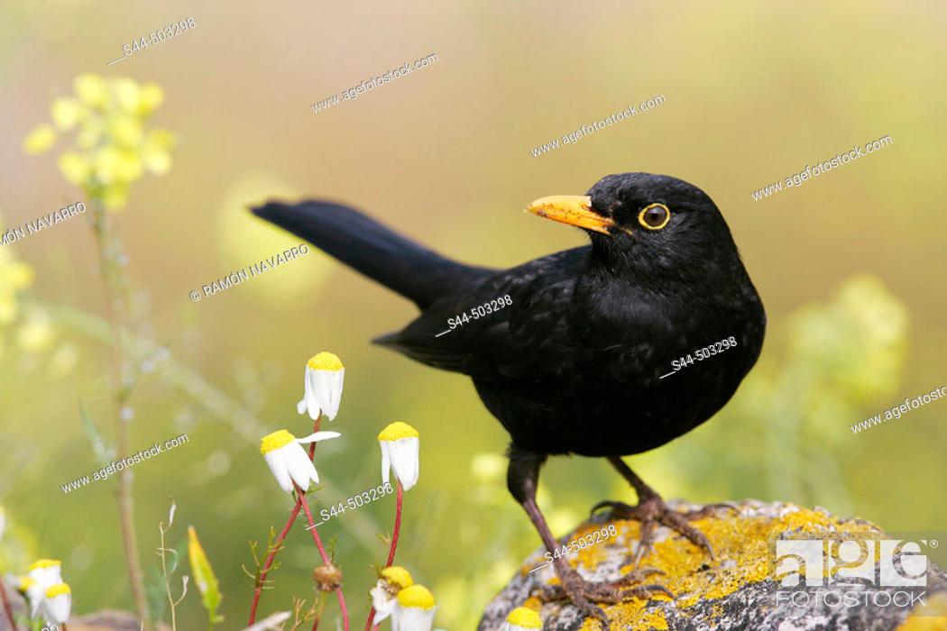Stock Photo: Blackbird (Turdus merula). Sevilla, Andalusia, Spain.