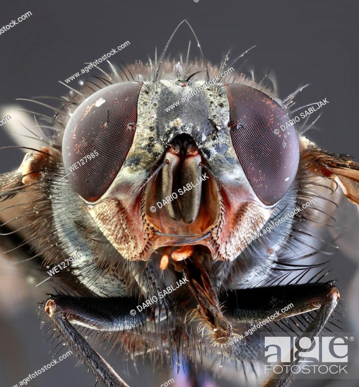 Stock Photo: Musca Domestica Low Scale Magnification.