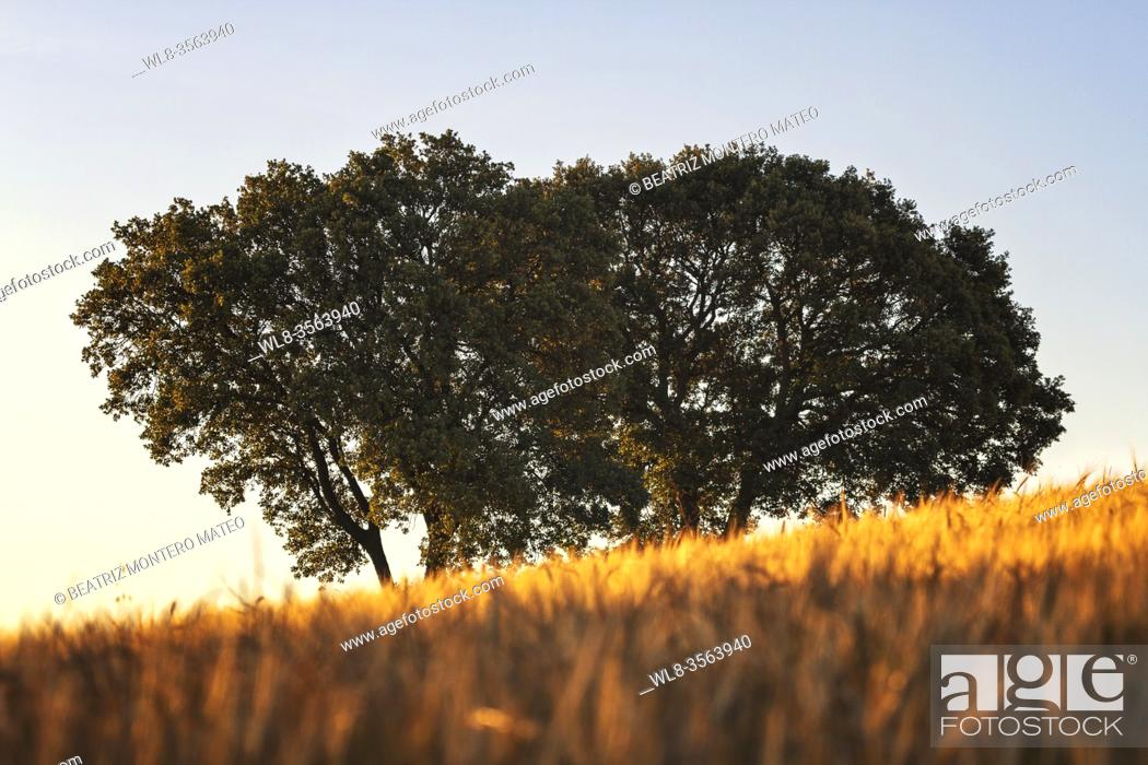 Stock Photo: Sunset in the wheat fields of Lerma in Burgos, Spain.