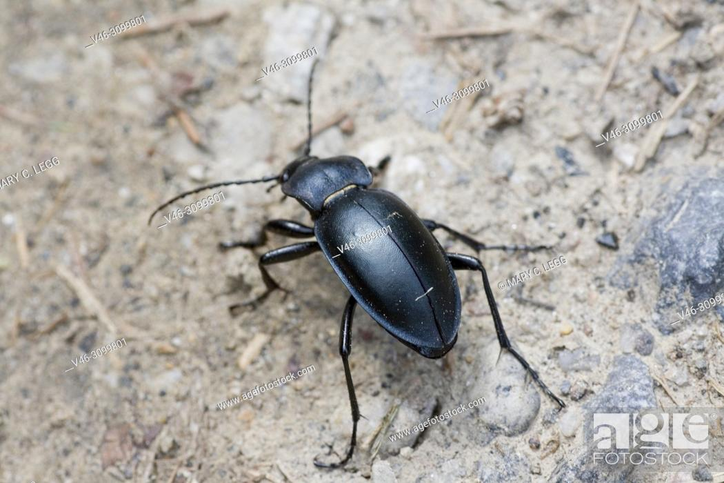 Stock Photo: Violet Ground Beetle, Carabus violaceus. Ground beetle which has violet or indigo edges on the smooth elytra or wing cases and thorax. 20-30mm long.