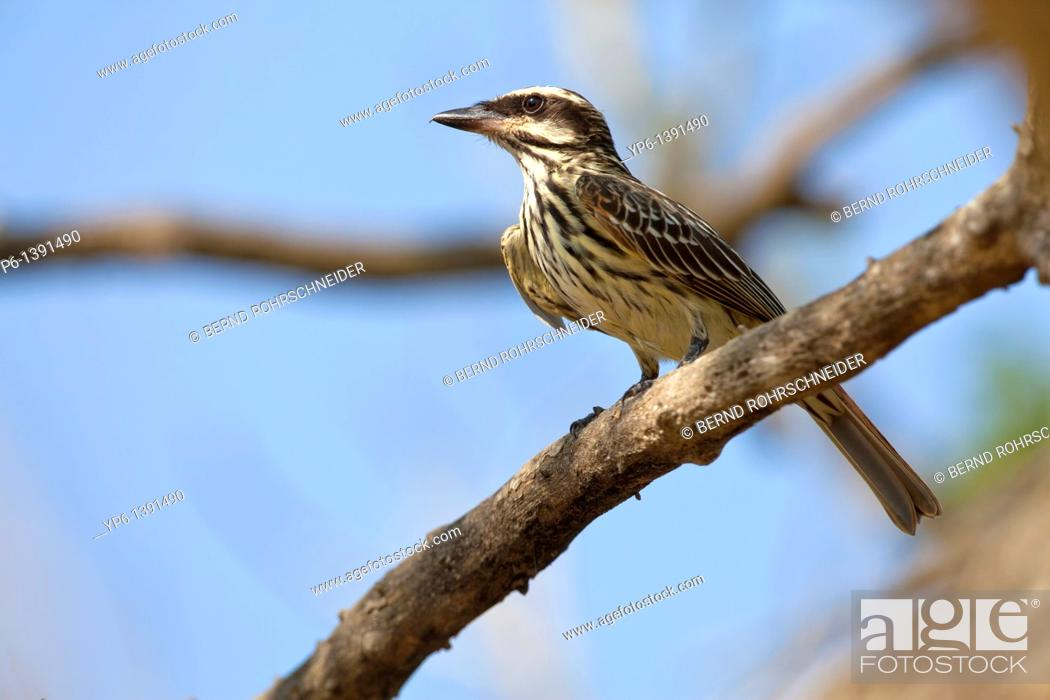 Stock Photo: Streaked Flycatcher Myiodynastes maculatus sitting on branch, Pantanal, Brazil.