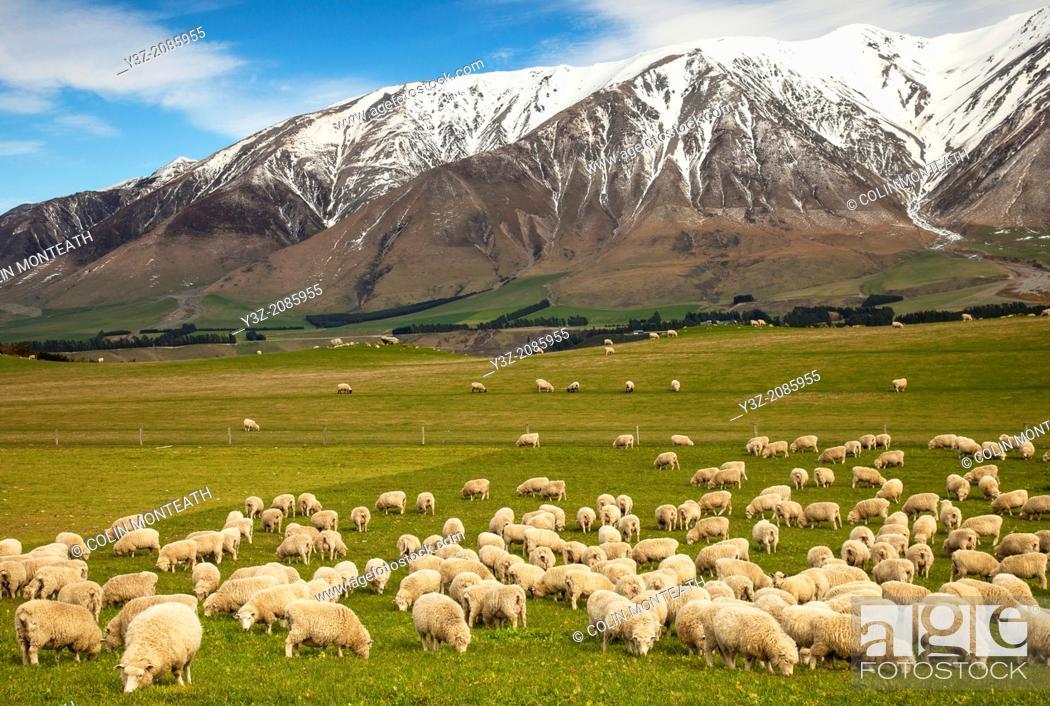 Imagen: Pregnant ewe sheep grazing, spring growth under Mt Hutt Range, Rakaia river valley, Canterbury.