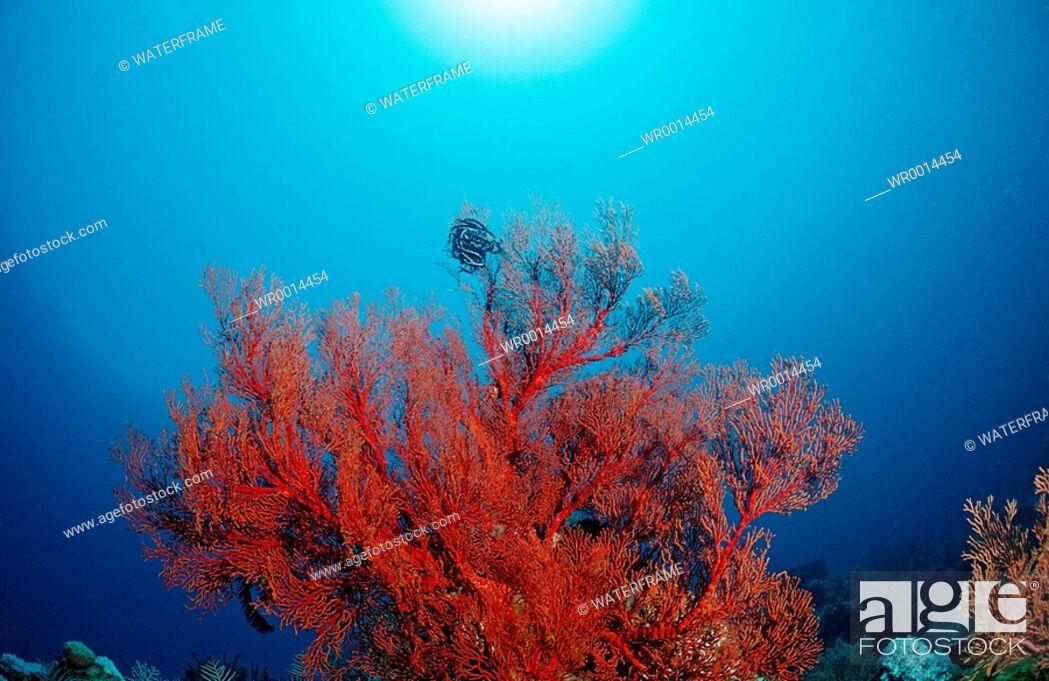 Stock Photo: Red Sea fan, Gorgonaria sp., Manado, Sulawesi, Celebes Sea, Indonesia.