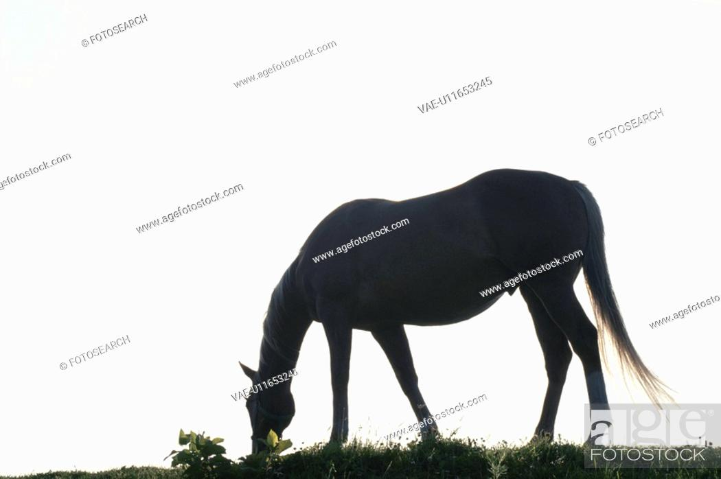 Stock Photo: The Silhouette Of A Horse.