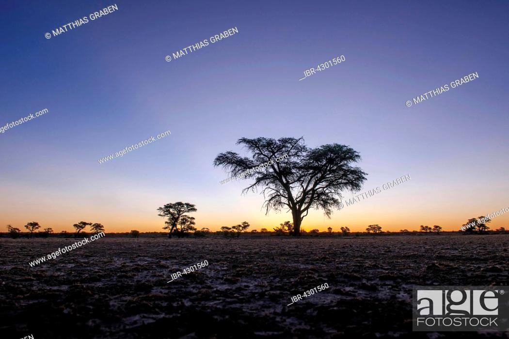 Stock Photo: Landscape with camel thorn (Vachellia erioloba) after sunset, Nossob Road, Kgalagadi Transfrontier Park, Northern Cape, South Africa.