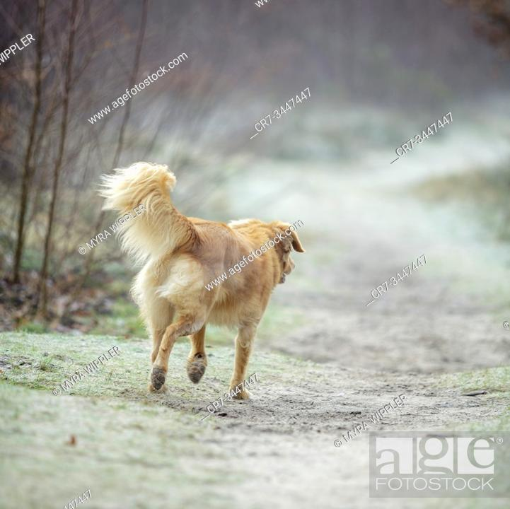 Stock Photo: Dog wandering around and playing at a heather nature reserve in Noord-Brabant, The Netherlands.