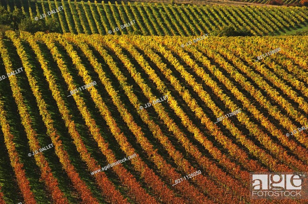 Stock Photo: Wine fields surrounding the village of Bouteville in the Cognac area, Charente, Poitou-Charentes, France.