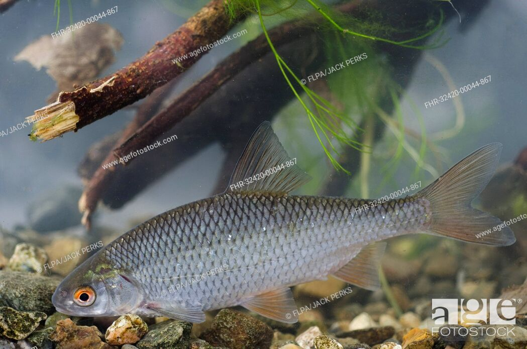 Stock Photo: Roach (Rutilus rutilus) adult, in tank, Nottingham, Nottinghamshire, England, February.