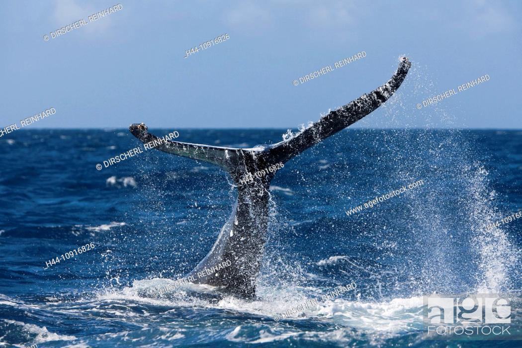 Stock Photo: Fluke, Humpback Whale, Megaptera novaeangliae, Silver Bank, Atlantic Ocean, Dominican Republic, Humpback Whale, Whale, Whales, Balaenopteridae, Mysticeti.
