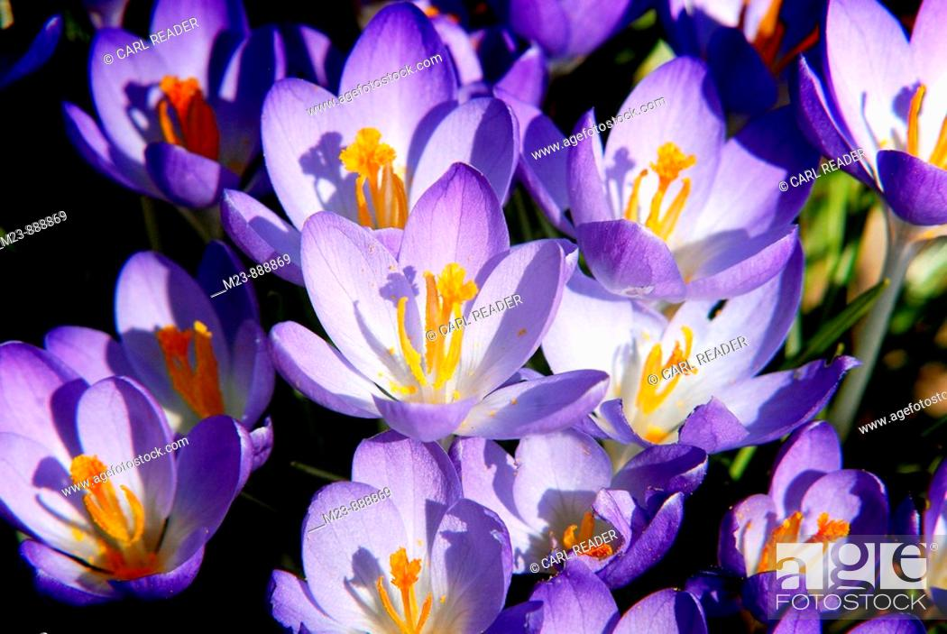 Stock Photo: A cluster of crocuses catch the morning light.