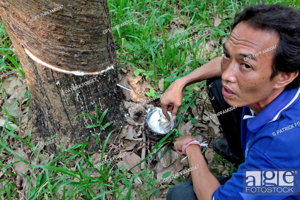 Stock Photo: HARVESTING LATEX BY PUTTING A TAP HOLE IN THE BARK OF THE RUBBER TREE, THAILAND, ASIA.