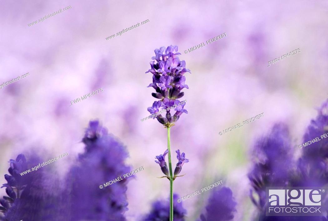 Stock Photo: Lavandula augustifolia, Lavender.
