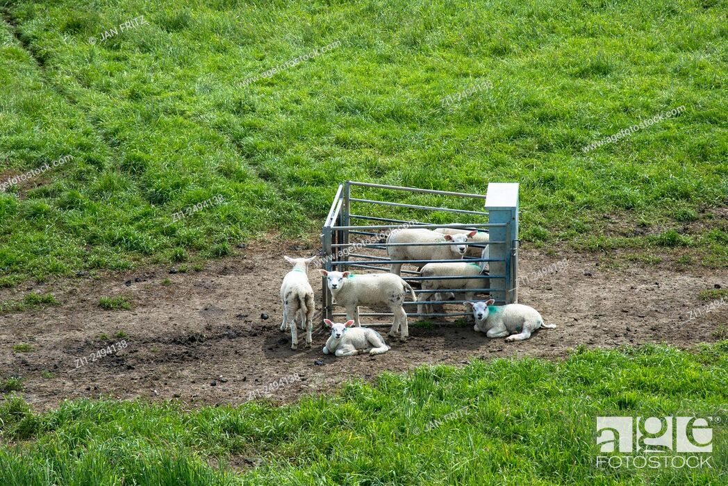 Stock Photo: sheep at farm in Holland.