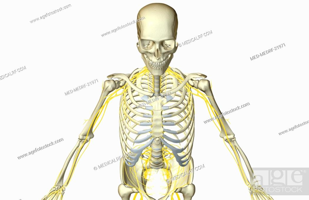 The Nerves Of The Upper Body Stock Photo Picture And Royalty Free