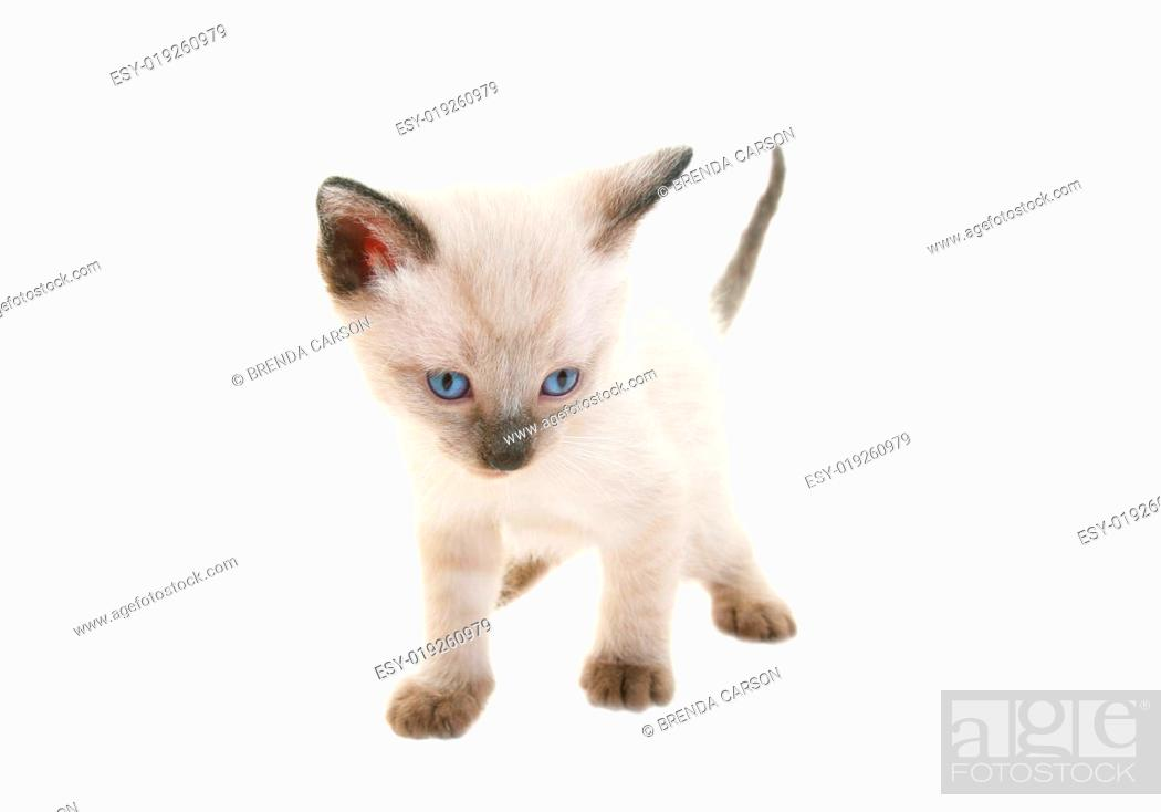 Stock Photo: Baby Siamese.