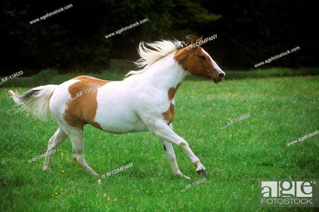Stock Photo: Paint Horse on meadow.