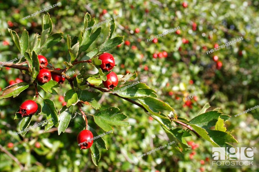 Stock Photo: Common Hawthorn Crataegus monogyna close-up of fruit, growing in hedgerow, Mickfield, Suffolk, England, september.