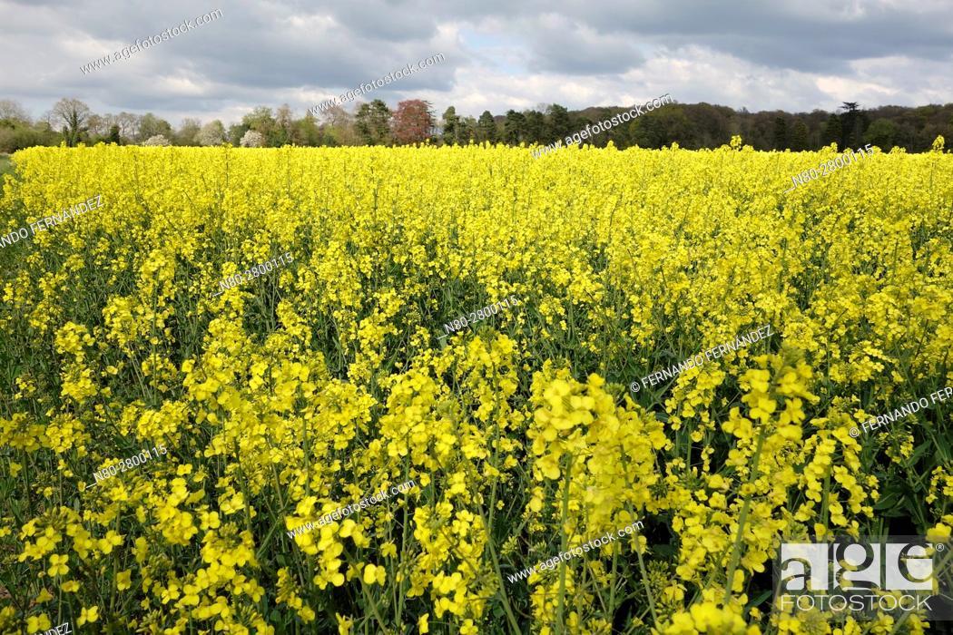 Stock Photo: Rape field in Oxfordshire. England.