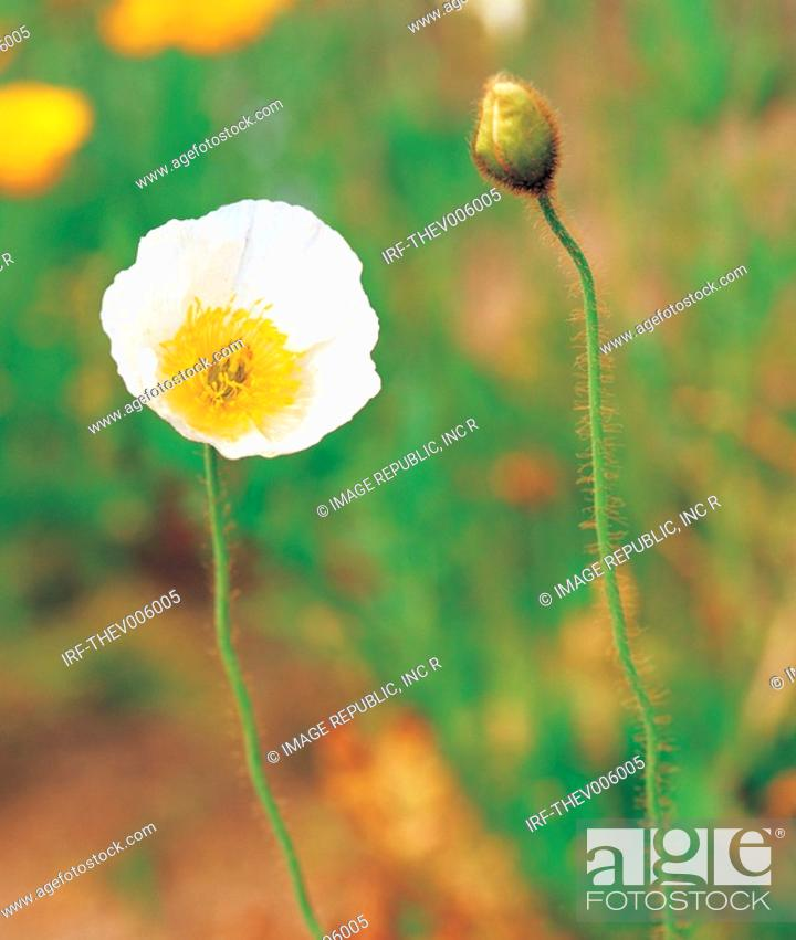 Stock Photo: flower, Papaver coreanum.