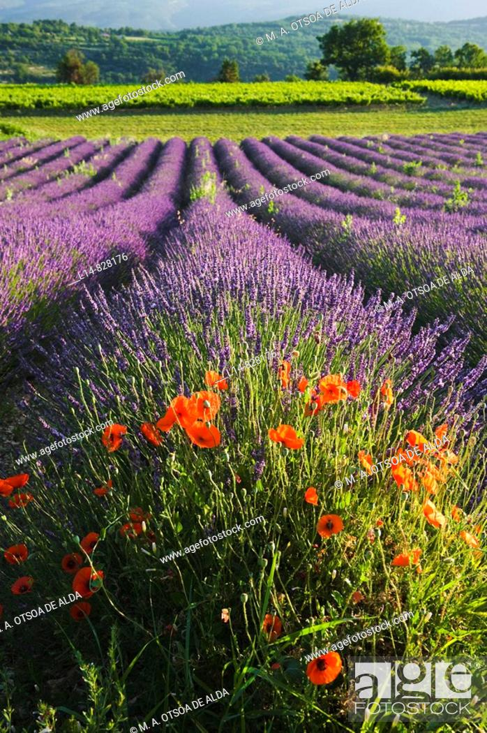 Stock Photo: Poppies in Lavender field, Provence, France.