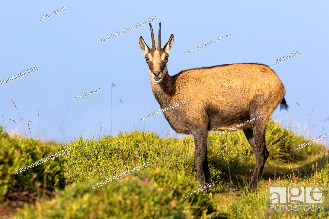Photo de stock: Chamois (Rupicapra rupicapra), adult standing on meadow, Niederhorn, Bernese Oberland, Switzerland.