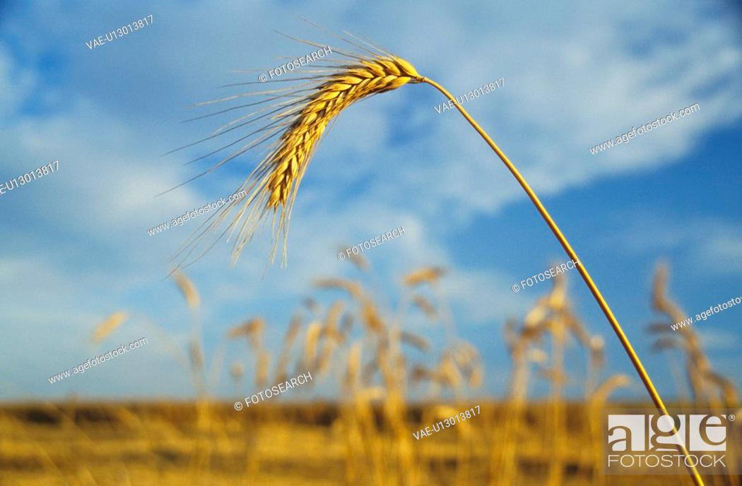 Stock Photo: felder, acre, aichner, autumn, barley.