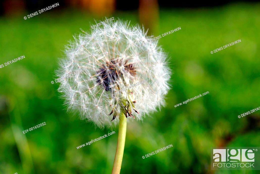 Stock Photo: Anthodium of a dandelion.