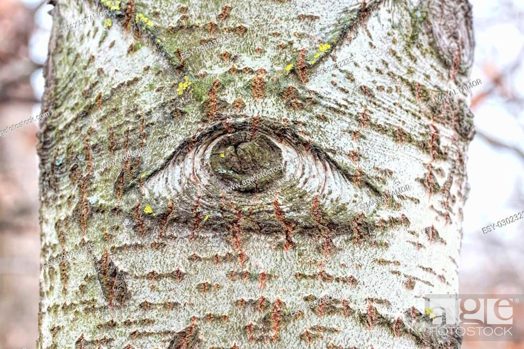 Stock Photo: One eyed white poplar trunk in the forest.