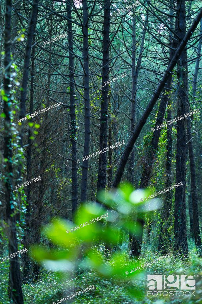 Stock Photo: Pine forest, Maritime Pine (Pinus pinaster), Dunas de Liencres Natural Park, Cantabrian Sea, Pielagos Municipality, Cantabria, Spain, Europe.