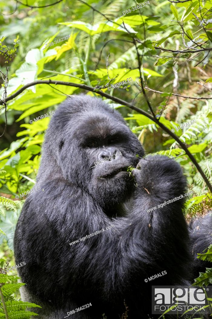 Stock Photo: Africa, Uganda, Mgahinga, The Mgahinga Gorilla National Park in Uganda adjoins the Virunga National Park in the Democratic Republic of the Congo and the.