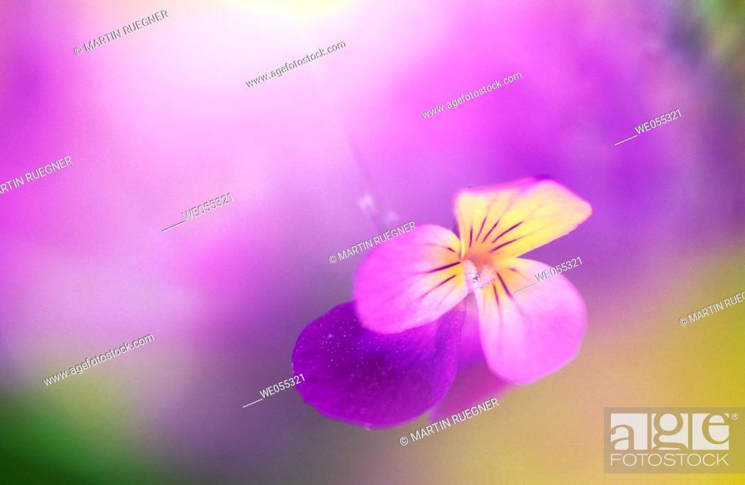 Stock Photo: Violets.