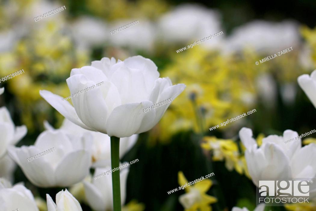 Stock Photo: Tulipa Mount Tacoma - Gefüllte späte Tulpe.