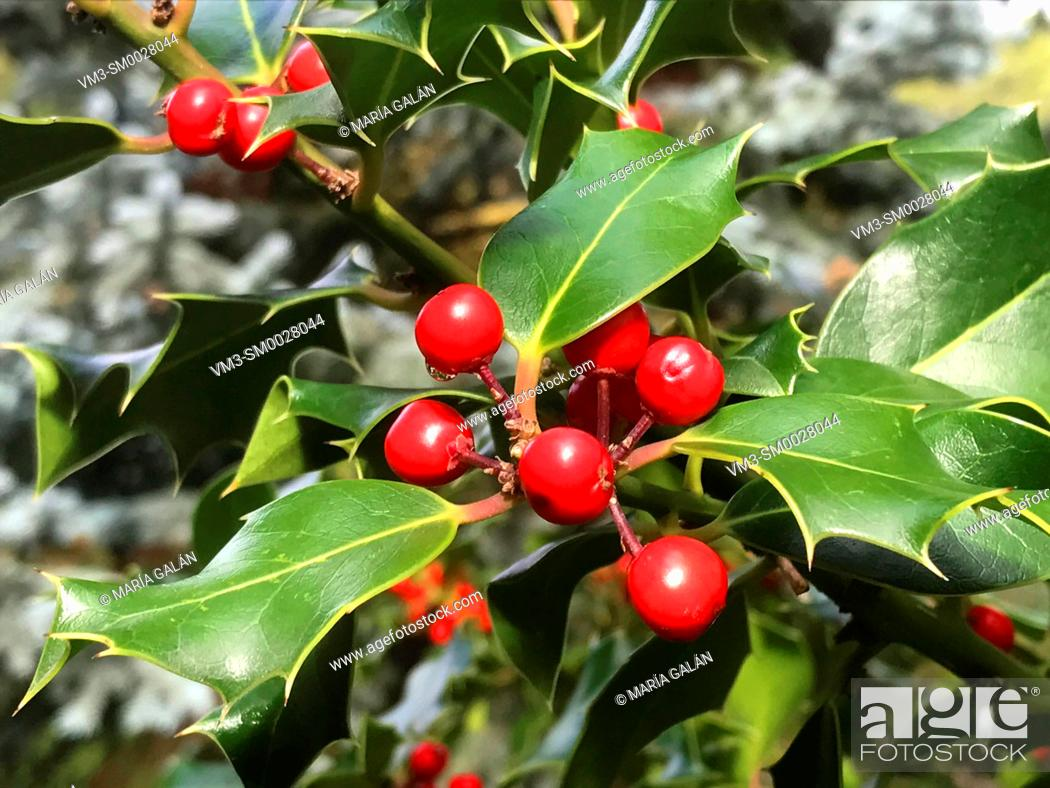 Stock Photo: Holly leaves.