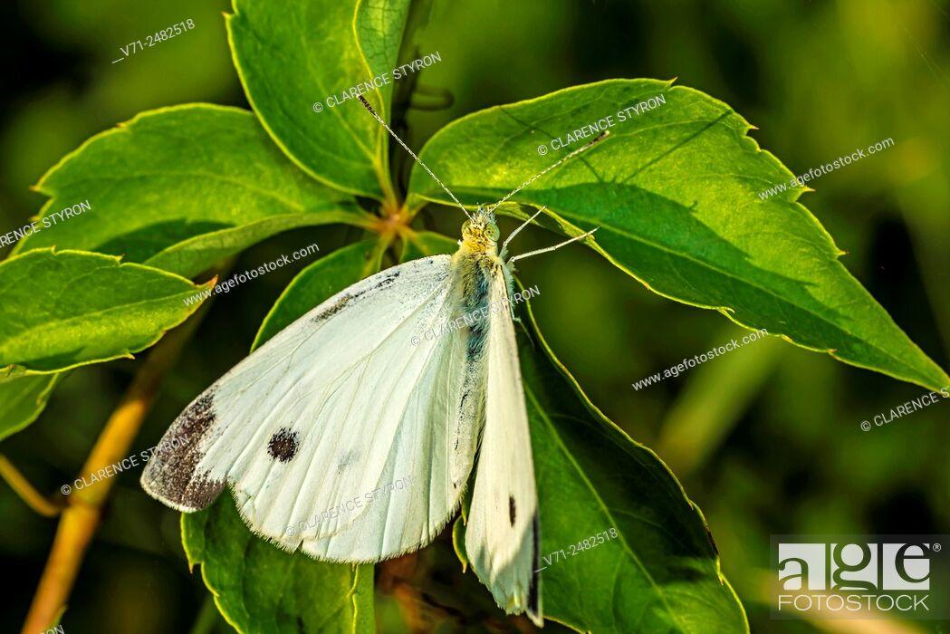 Stock Photo: Cabbage White Butterfly (Pieris rapae) on Virginia Creeper (Parthenocissus quinquefolia) Leaf.